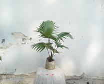 China palm tree
