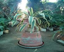 DRACAENA FRAGRANS PLANTS IN JIND